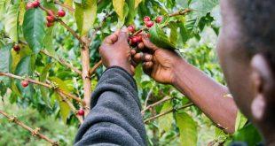تولید دانه قهوه